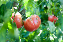 Cracking On The Growing Tomato