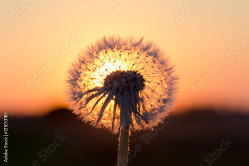 Poster Paardenbloem Dandelions in meadow at red sunset
