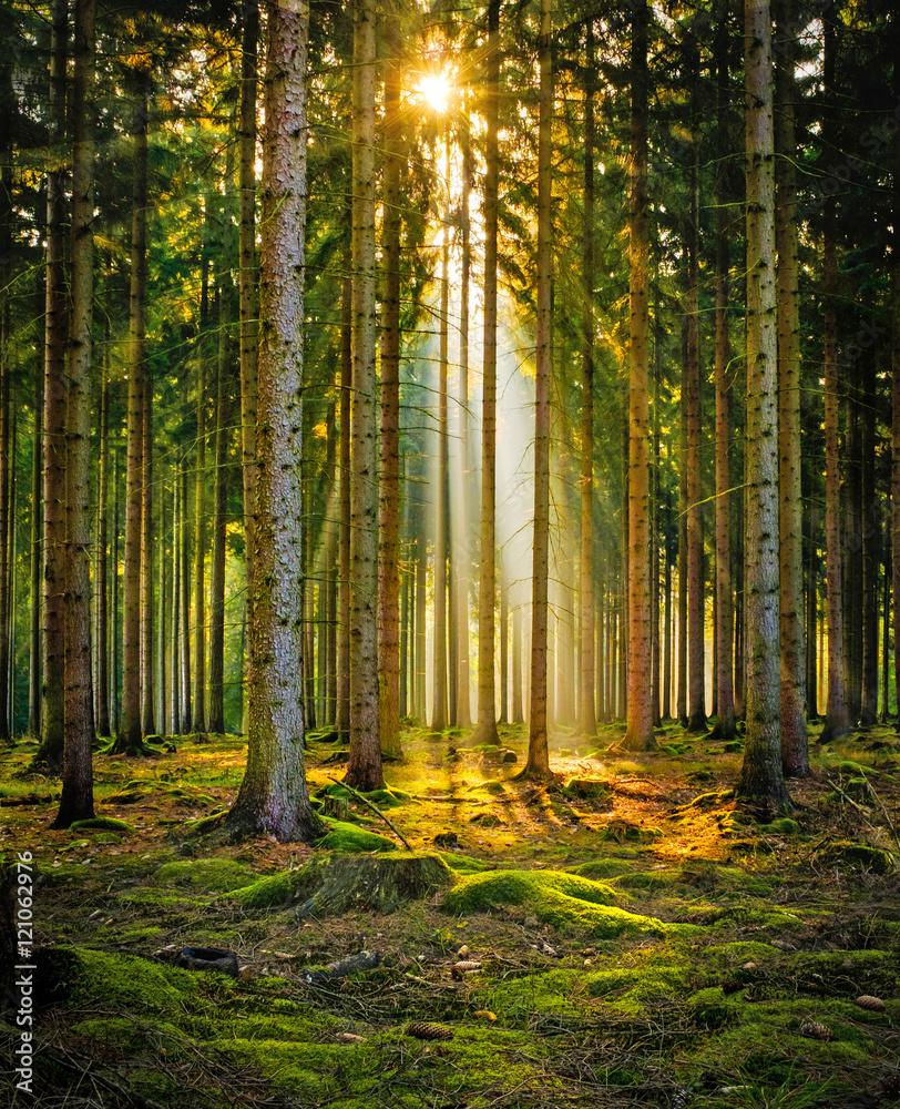 Fototapety, obrazy: Promienie słoneczne w lesie iglastym w porannej mgle