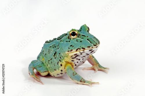 Fotografie, Obraz  Pacman Frosch - Schmuckhornfrosch  (Ceratophrys cranwelli) Peppermint