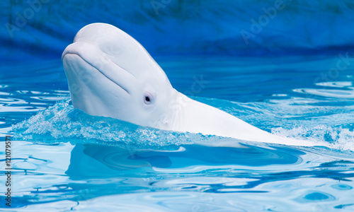 Stickers pour portes Dauphin white dolphin in the pool