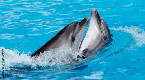 Poster Dolfijnen two dolphins dancing in the pool