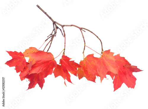 Fotografie, Obraz  a maple leaf branch