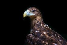 Eagle Portrait Isolated On Black Background