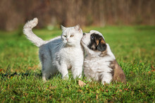 Saint Bernard Puppy With A British Shorthair Cat