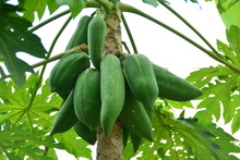 Carica Papaya / Papaya On The Tree   Papaya Fruit To The Northeast Of Thailand  Bring The Cooking Into Somtam