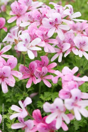 Pelargonium 'Prince of Orange' pink geranium flowers
