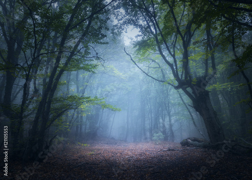 Papiers peints Forets Forest in fog. Enchanted autumn forest in fog in the morning. Old Tree. Beautiful landscape with trees, colorful green leaves and blue fog. Nature background. Dark foggy forest with magic atmosphere
