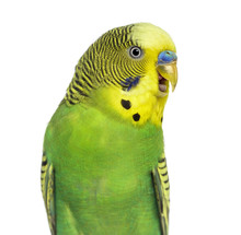 Close-up Of Budgie With Beak O...