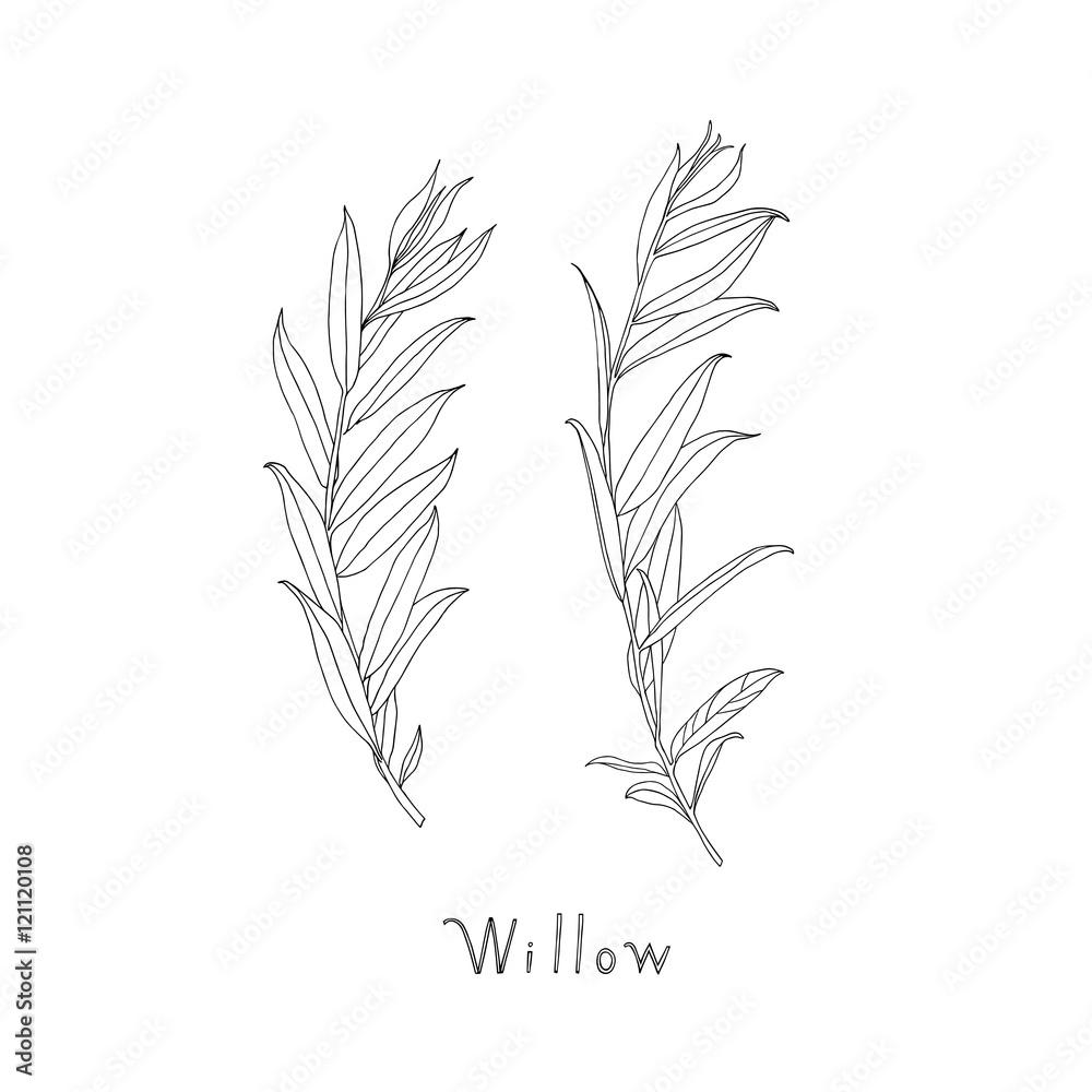Fototapeta Hand drawn willow twigs. Graphic sketch. Vector.