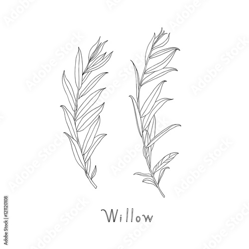 Hand drawn willow twigs. Graphic sketch. Vector. Fototapet