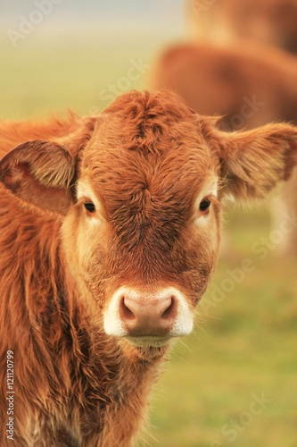 Poster de jardin Vache Looking at you, interested in environment young cow