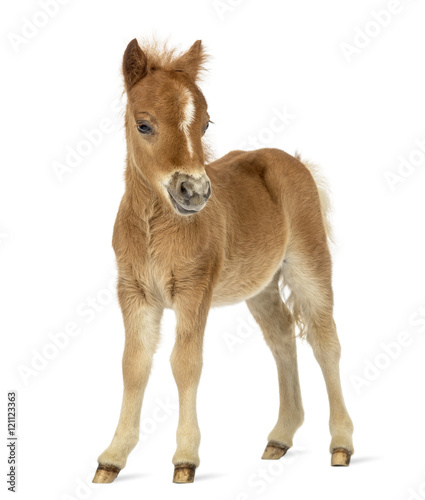 Vászonkép Side view of a poney, foal facing against white background