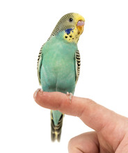Budgerigar Parakeet Perched On...
