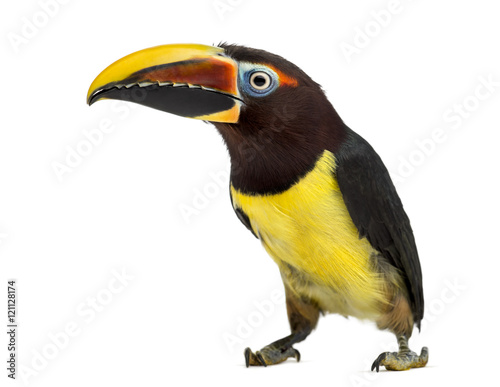 Tuinposter Toekan Green aracari isolated on white