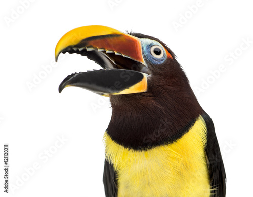 Poster Toekan Green aracari opening his beak isolated on white