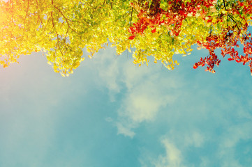 Fototapeta Colorful red, yellow and green autumn leaves of tree autumn branch against the blue sunny sky with free space for text in vintage tones
