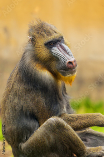 Poster Parrot Adult male mandrill