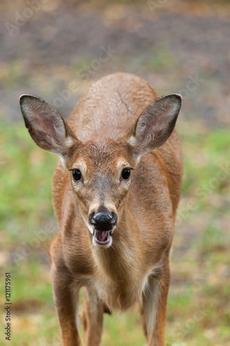 Staande foto Ree Young Whitetail Deer