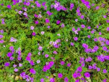 Verbena Flower Field