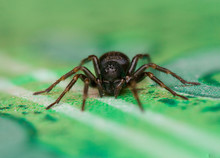 Small Black House Spider (Badumna Loninqua) On The Floor