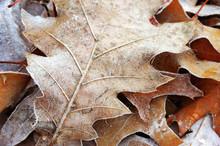 Frozen Leaves In Winter Morning