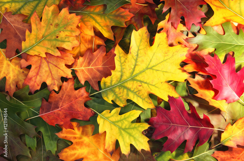 Poster Artistic colorful oak autumn season leaves background.