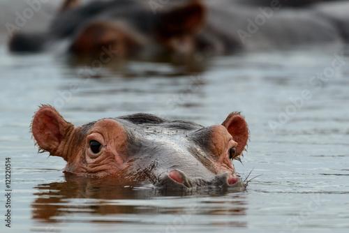 Common hippopotamus (Hippopotamus amphibius). Eastern Shores. Isimangaliso Wetland Park. KwaZulu Natal. South Africa
