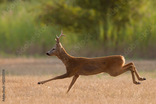 In de dag Ree Running roe deer buck