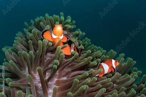 Fotografie, Tablou  Ocellaris clownfish