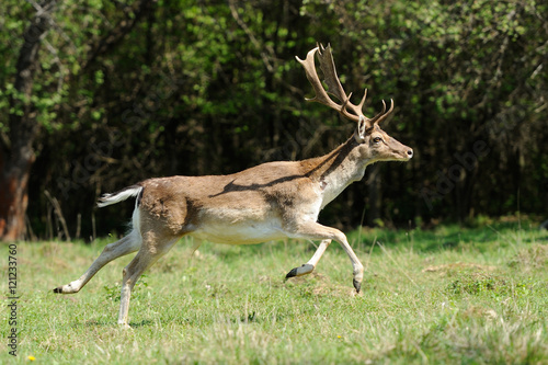 Fotobehang Ree Deer in forest