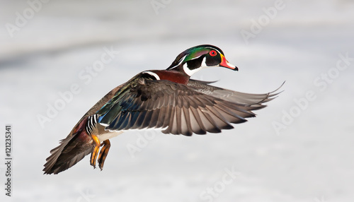 Wood duck isolated on a white background in flight in Canada