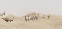 Herd Of Arabian Oryx (Oryx Leucoryx) In Desert