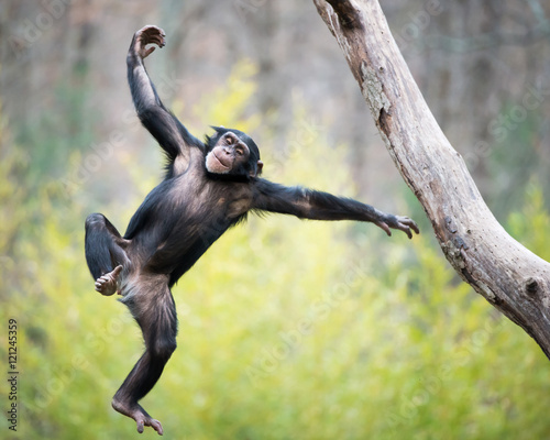 Foto op Canvas Aap Chimp in Flight