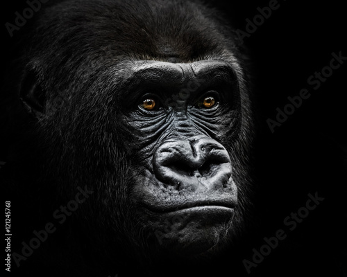 Photo  Western Lowland Gorilla IV