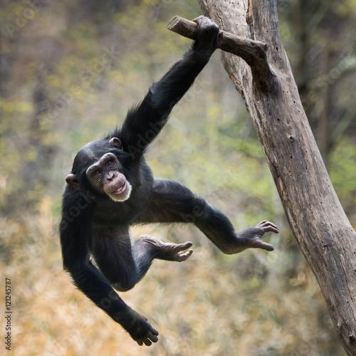 Foto op Aluminium Aap Swinging Chimp VIII