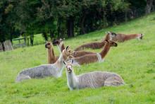 Herd Of Llamas Sitting Grazing...