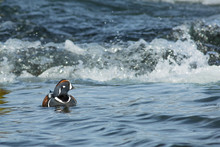 Harlequin Duck (histrionicus Histrionicus) Resting Between White Water
