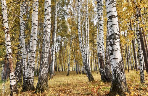 Papiers peints Bosquet de bouleaux Birch grove with yellow leaves in cloudy autumn day