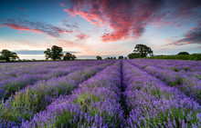 A Field Of Lavender In The Somerset Countryside