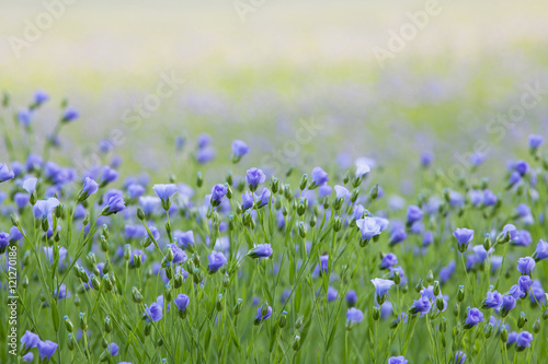 Garden Poster Spring Flax flowers