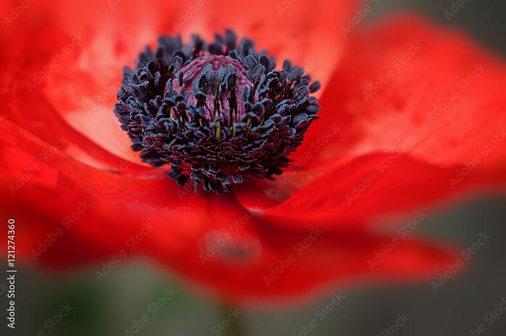 Red poppy flower in bloom large petals macro shot - obrazy, fototapety, plakaty