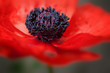Red poppy flower in bloom large petals macro shot