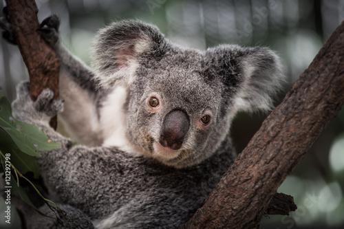 In de dag Koala Koala
