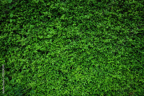 green leaves natural wall. - 121304340