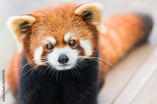 Red Panda Wallpaper Mural