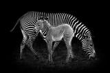 Fototapeta Zebra - Baby Zebra and Mother