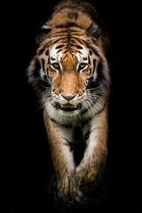 FototapetaAmur Tiger On the Prowl II