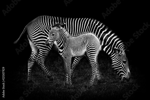 Aluminium Prints Zebra Baby Zebra and Mother