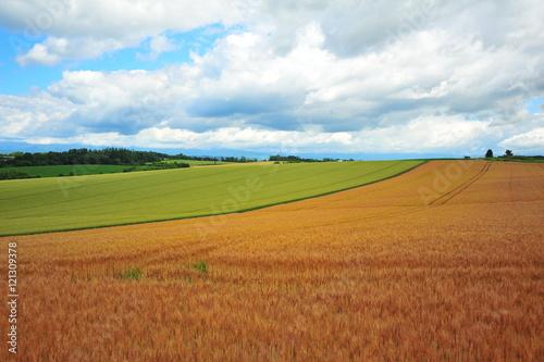 Fotobehang Weide, Moeras Yellow Wheat Fields in Biei, Hokkaido, Japan